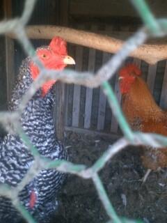 2羽の鶏 2