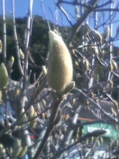 木蓮の冬芽のその後