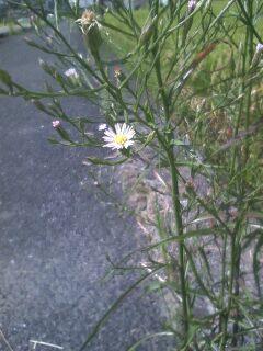 道端の花たち 133 ホウキギク