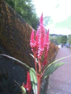 道端の花たち 140 ケイトウ