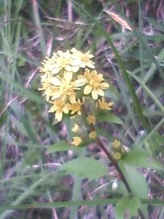 道端の花たち 144 アキノキリンソウ
