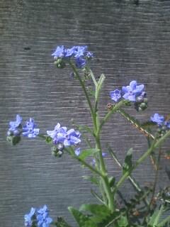 道端の花たち 148 ワスレナグサ