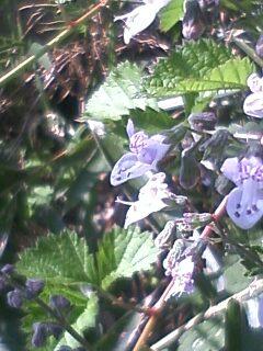 道端の花たち 154 ヤマハッカ