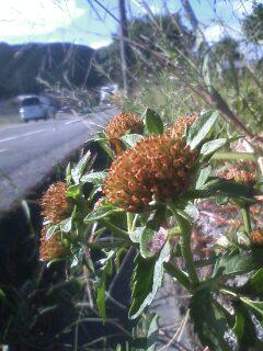 道端の花たち 156 タウコギ