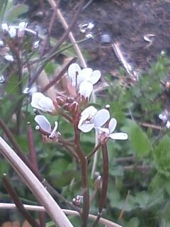 道端の花たち 157 アキノタネツケバナ