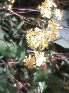 道端の花たち 158 ヤクシソウ