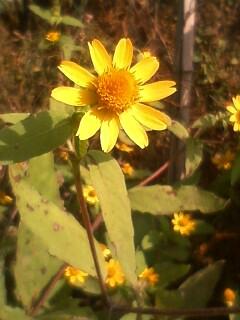 道端の花たち 159 メランポジューム
