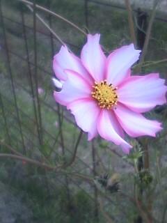 道端の花たち 161 コスモス