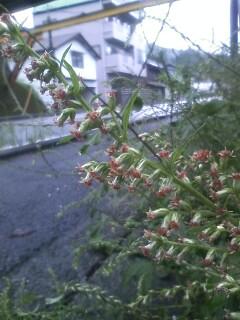 道端の花たち 162 ヨモギ