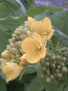 花あるき・2011 [1] スズナ