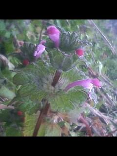 花あるき・2011 [2] ホトケノザ