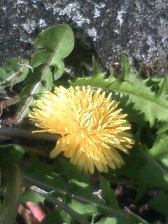 花あるき・2011 [5] タンポポ