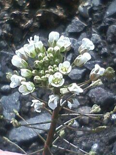 花あるき・2011 [7] ナズナ