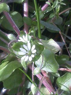花あるき・2011 [8] コハコベ