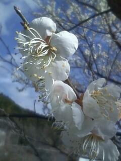 花あるき・2011 [12] ウメ その2