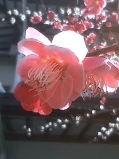 花あるき・2011 [18] ウメ その8