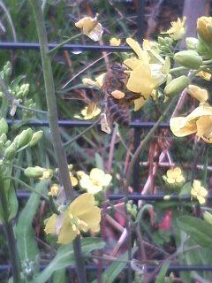 花あるき・2011 [19] アブラナ