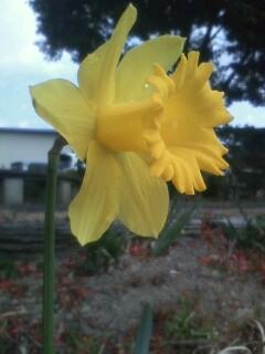 花あるき・2011 [21] ラッパスイセン