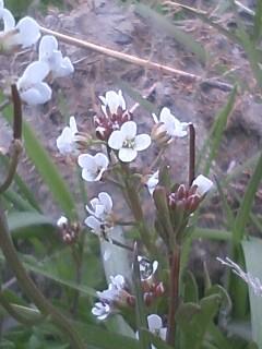 花あるき・2011 [22] タネツケバナ