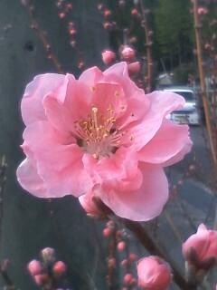 花あるき・2011 [23] モモ