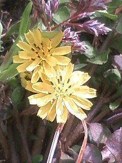 花あるき・2011 [28] コオニタビラコ