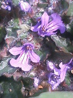 花あるき・2011 [31] キランソウ