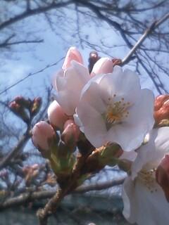 花あるき・2011 [32] ソメイヨシノ