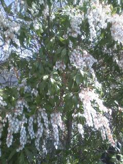 花あるき・2011 [36] アセビ