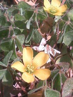 花あるき・2011 [40] カタバミ