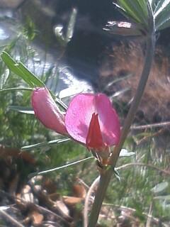 花あるき・2011 [41] カラスノエンドウ