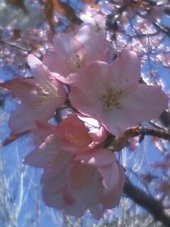 花あるき・2011 [43] ヤマザクラ