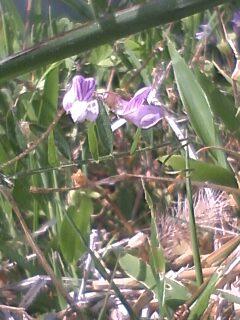 花あるき・2011 [44] カスマグサ