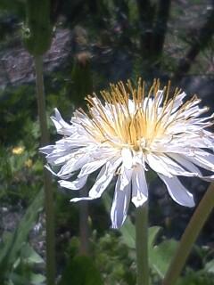 花あるき・2011 [46] シロバナタンポポ