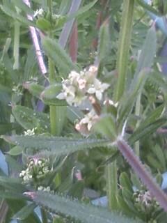 花あるき・2011 [48] ヤエムグラ