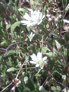 花あるき・2011 [50] ノミノフスマ