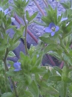 花あるき・2011 [53] タチイヌノフグリ