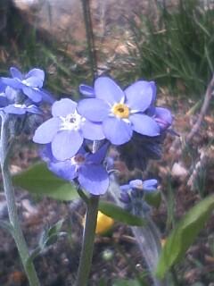 花あるき・2011 [54] ワスレナグサ