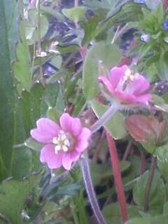 花あるき・2011 [56] アメリカフウロ