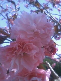 花あるき・2011 [57] ヤエザクラ