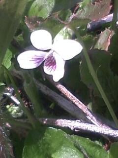 花あるき・2011 [59] ツボスミレ