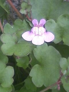 花あるき・2011 [61] ツタバウンラン