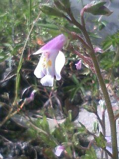 花あるき・2011 [64] トキワハゼ