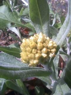 花あるき・2011 [66] ハハコグサ