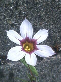 花あるき・2011 [67] ニワゼキショウ