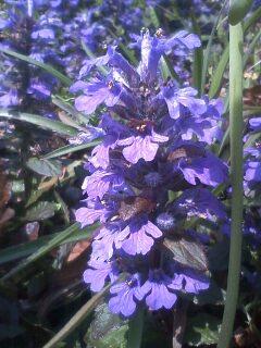 花あるき・2011 [68] アジュガ