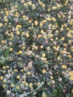 花あるき・2011 [71] コメツブツメクサ
