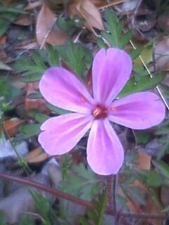 花あるき・2011 [72] ヒメフウロ