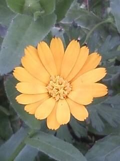 花あるき・2011 [73] ヒメキンセンカ