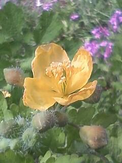 花あるき・2011 [79] クサノオウ