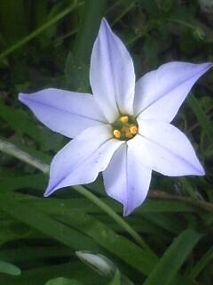 花あるき・2011 [80] ハナニラ